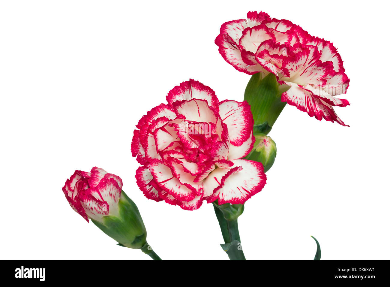 Red carnation flower isolated white pink flowers beautiful stock beautiful flowers are pink with a white carnation buds and petals presented on a mightylinksfo