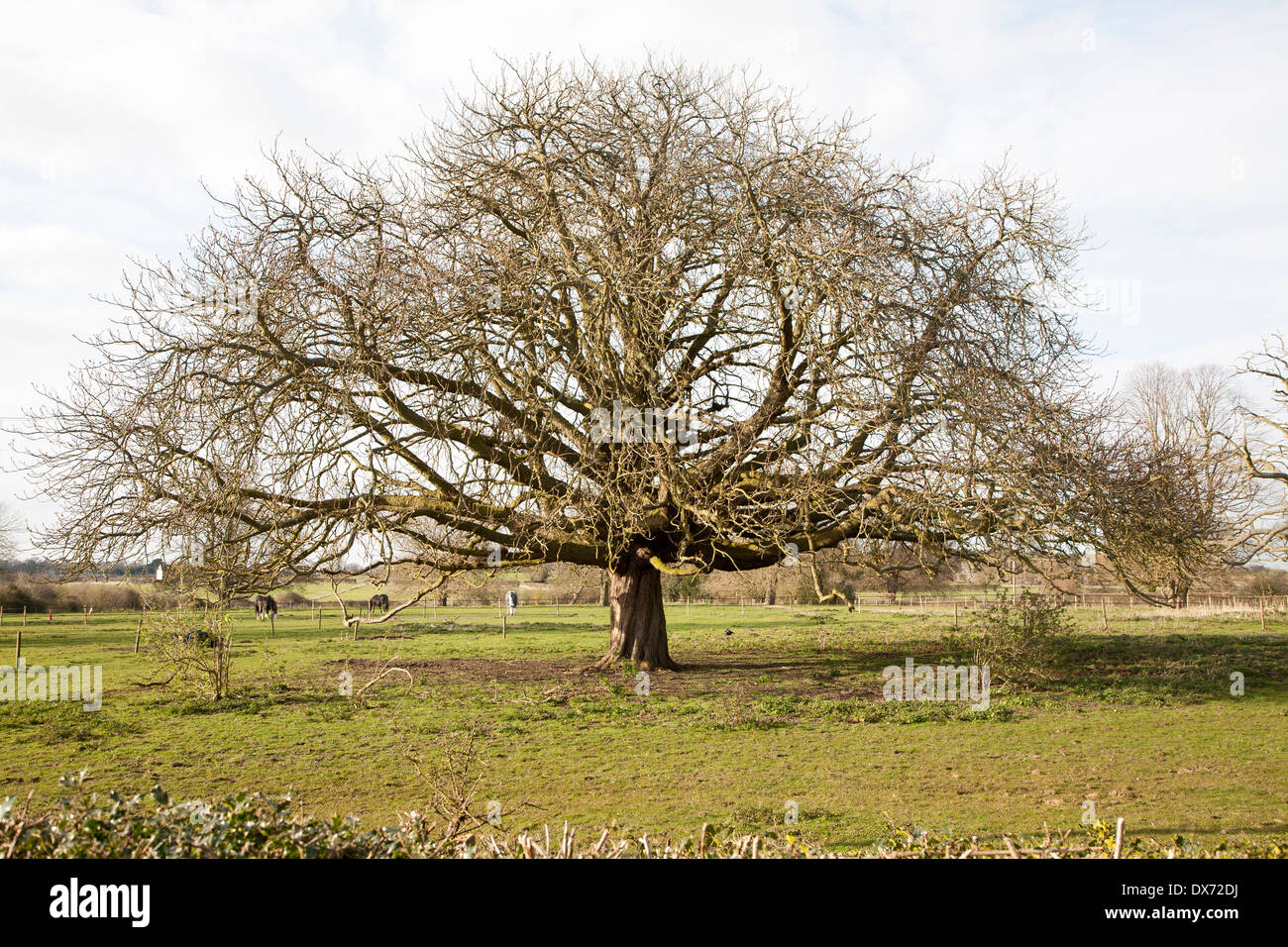 Horse chestnut tree, Aesculus hippocastanum, in winter growing in field, Sutton, Suffolk, England - Stock Image
