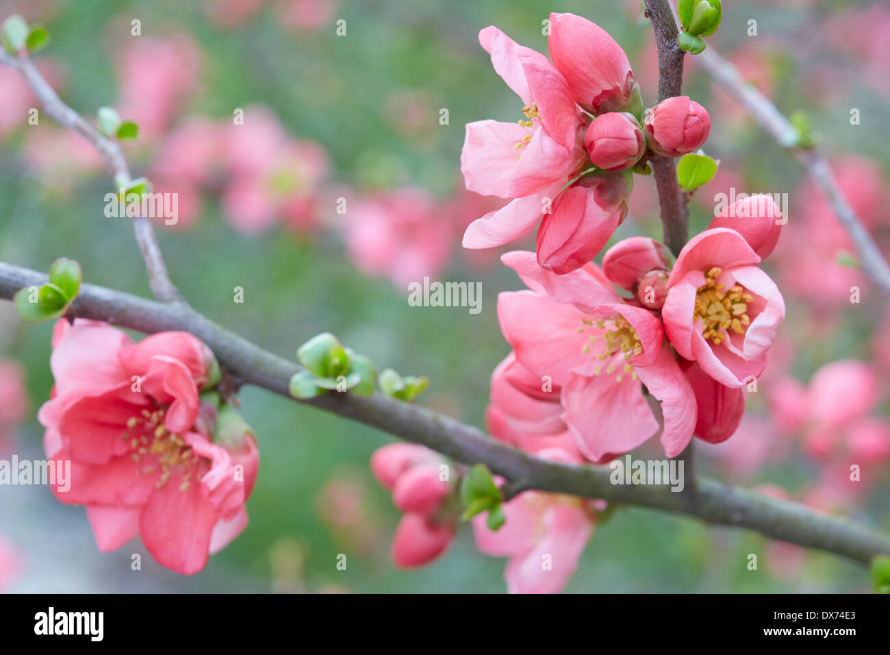 Spring Flowers On Twigs Pink Blossom And Buds Stock Photo 67769355