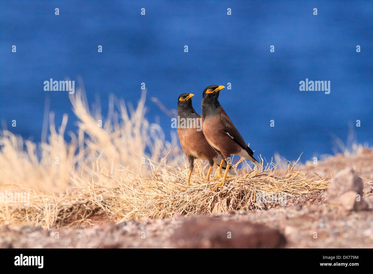 Two Common Myna Birds in the same pose. - Stock Image