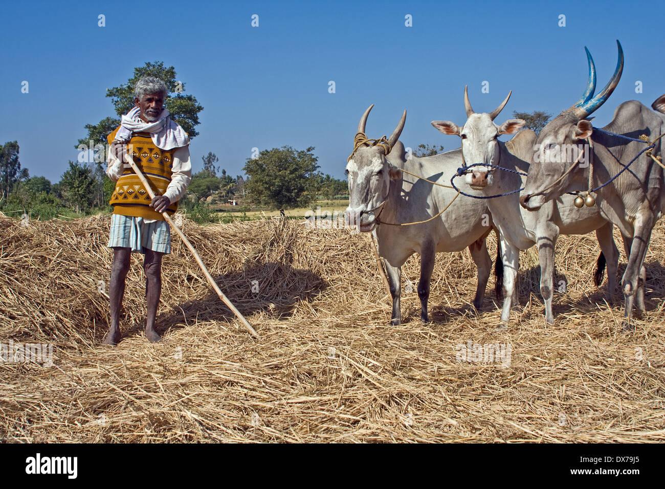 Asia, India, Karnataka, Somnathpur, farmer with his cows - Stock Image