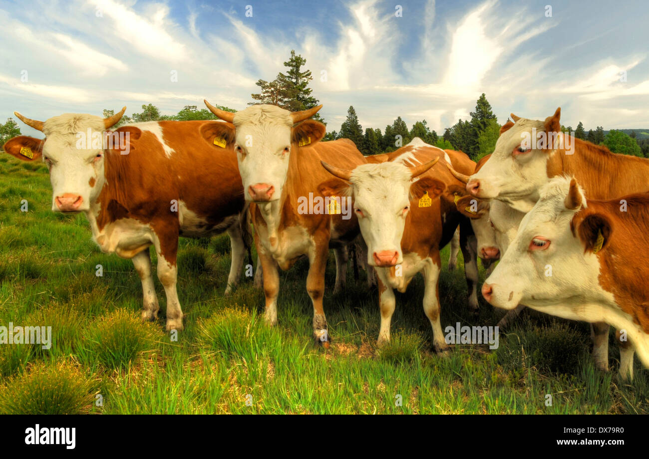 Cattle grazing in the Black Forest, Germany, Stock Photo