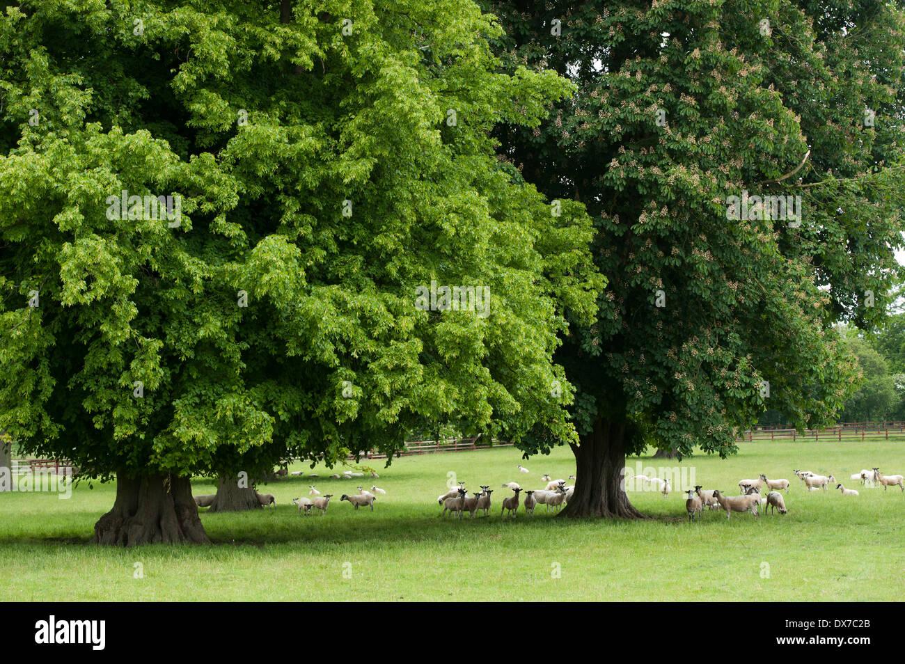 Flock of sheep in mature parkland, Newmarket, UK - Stock Image