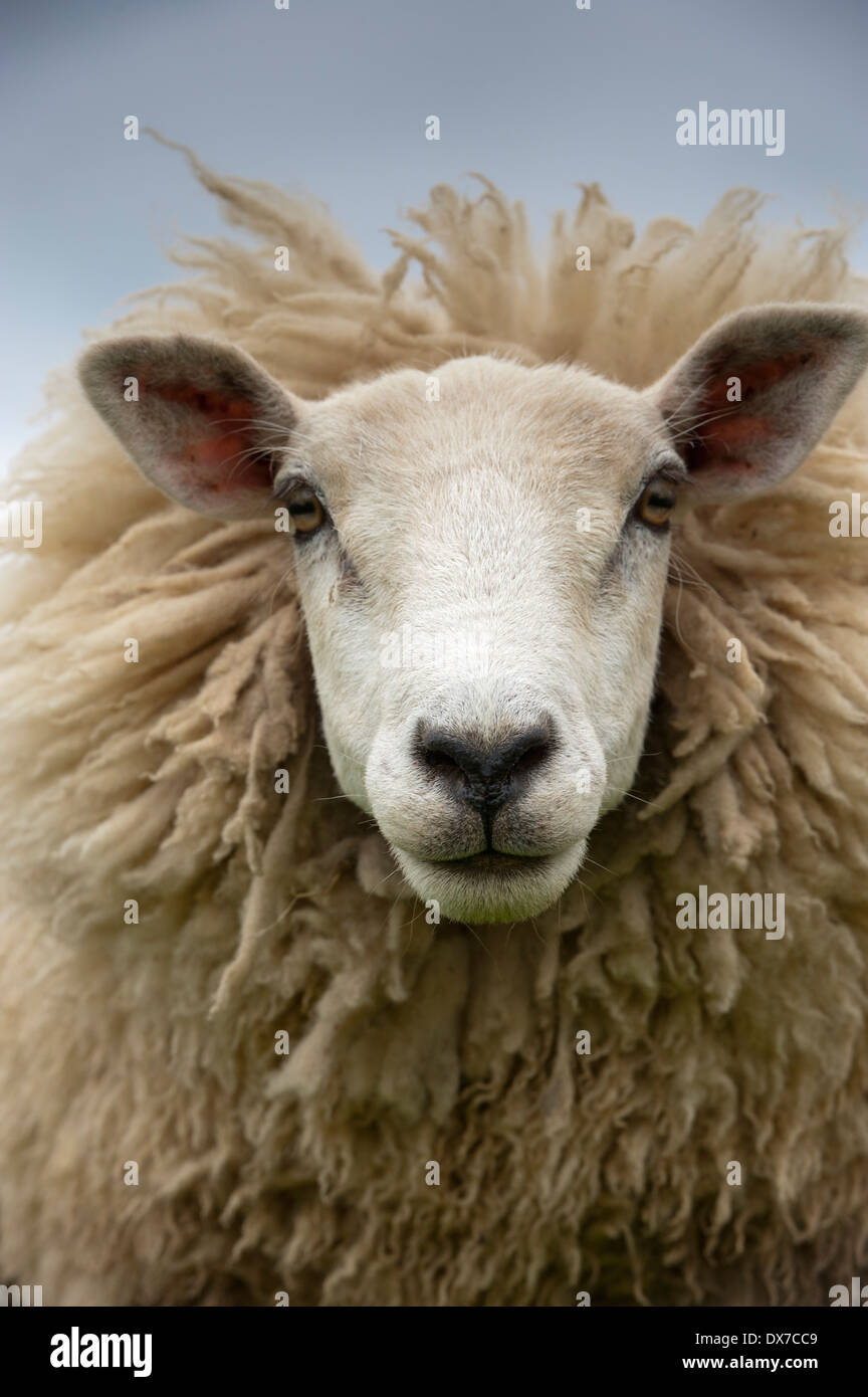 Head and wool of a sheep. UK - Stock Image