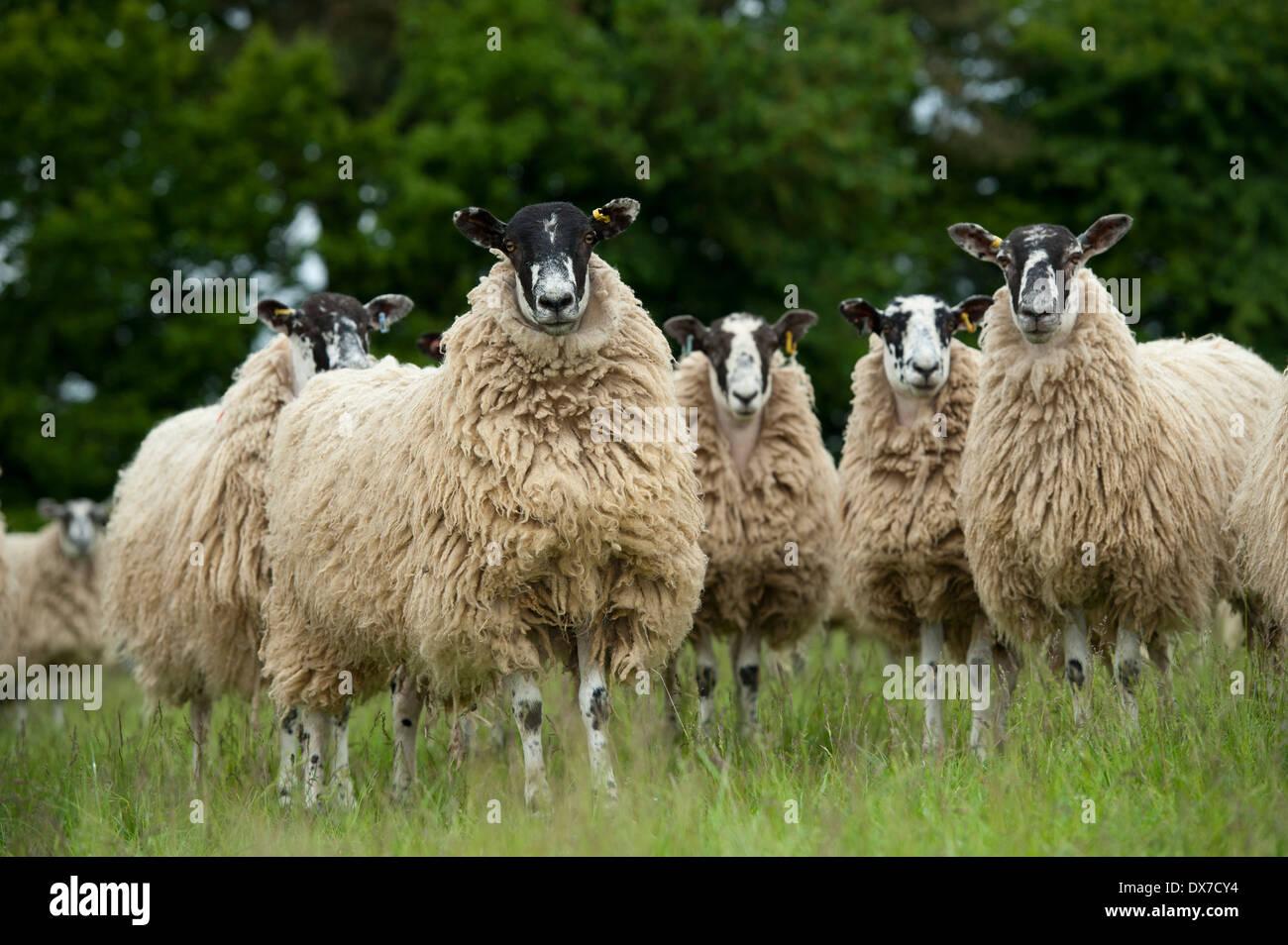 Flock of mule yearlings, heavy in wool. Newmarket, UK. - Stock Image