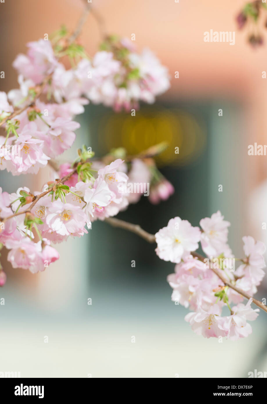 Cherry Blossom on the trees in Oozells Square, Brindleyplace, Birmingham. - Stock Image