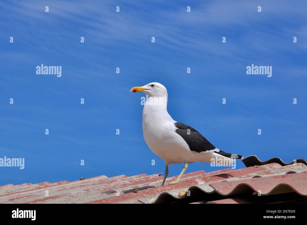 Seagull, Vina del Mar, Chile - Stock Image