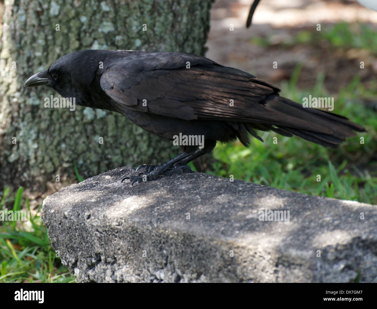 American Crow hunched down leaning forward - Stock Image