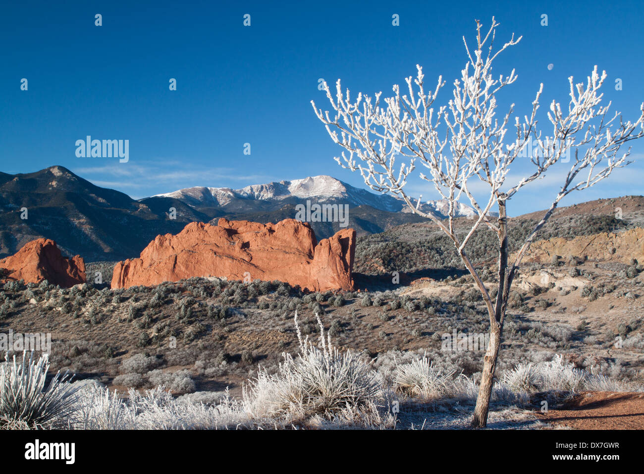 Small tree covered with hoarfrost and moon, overlooking North Gateway Rock in Garden of the Gods park, with Pikes Peak - Stock Image