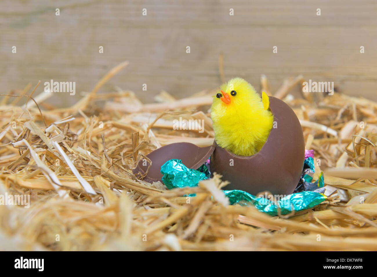 A fluffy yellow Easter chick breaking out from a chocolate egg in a barn. - Stock Image