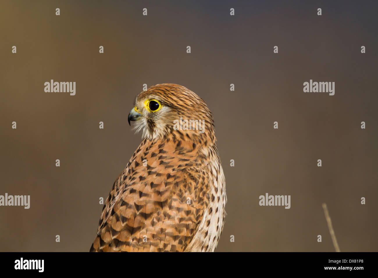 Common kestrel (Falco tinnunculus) perched on a branch - Stock Image