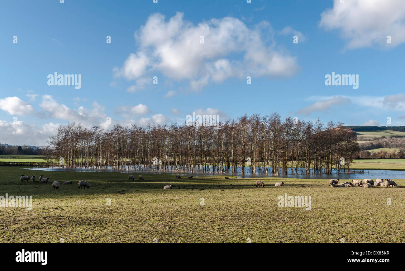 A copse of silver birch trees standing in a flooded field in Herefordshire, UK - Stock Image