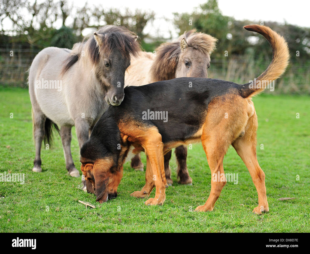 bloodhound with two shetland ponies - Stock Image