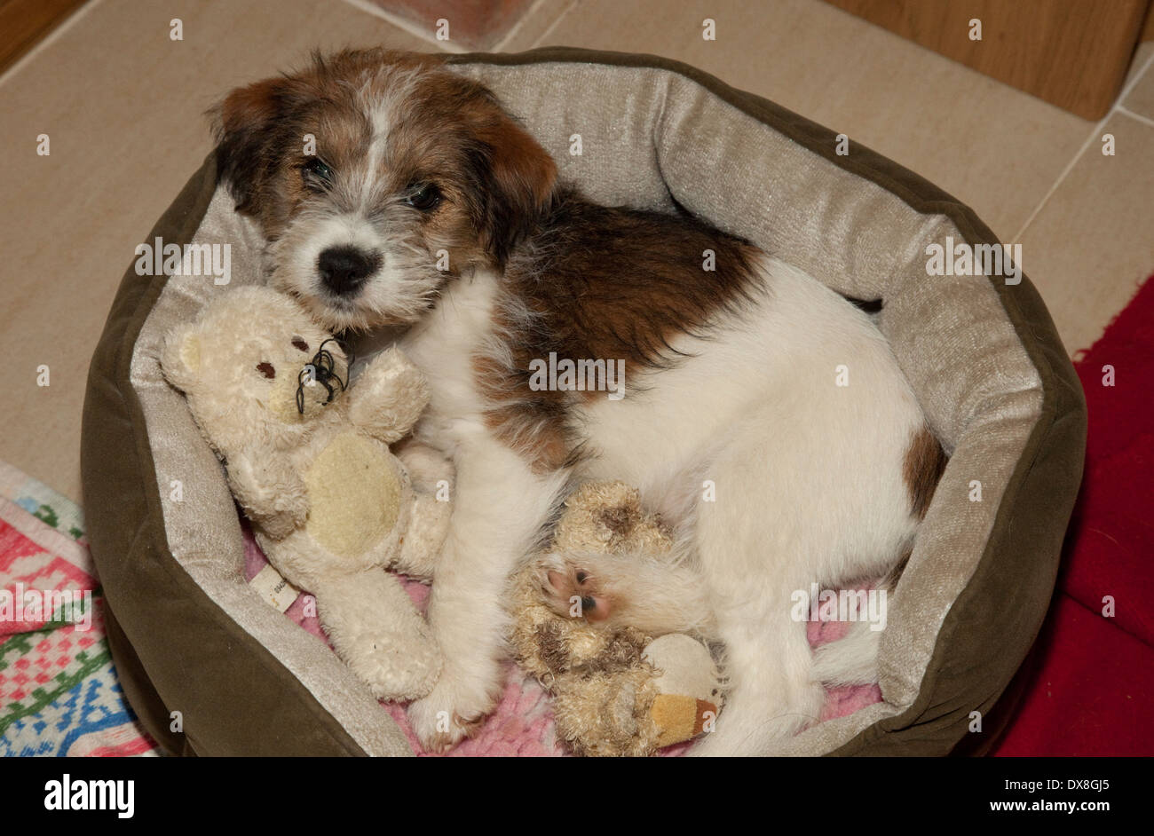 Brown & white Border terrier puppy in dog bed UK - Stock Image