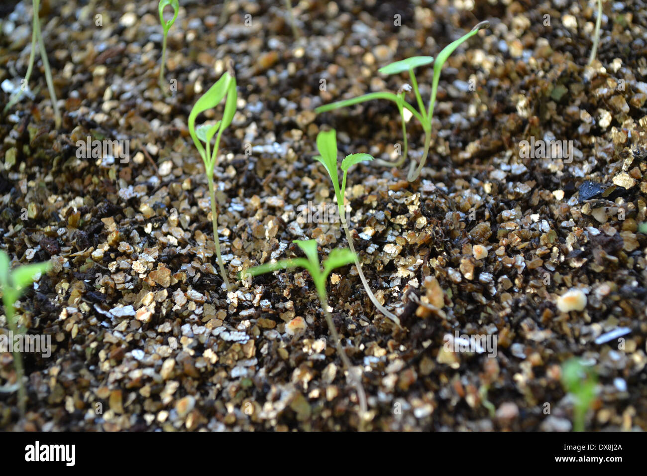 Ammi majus, Bishop's flower or Flase Bishop's Weed seedlings in seed tray with a layer of vermiculite Stock Photo