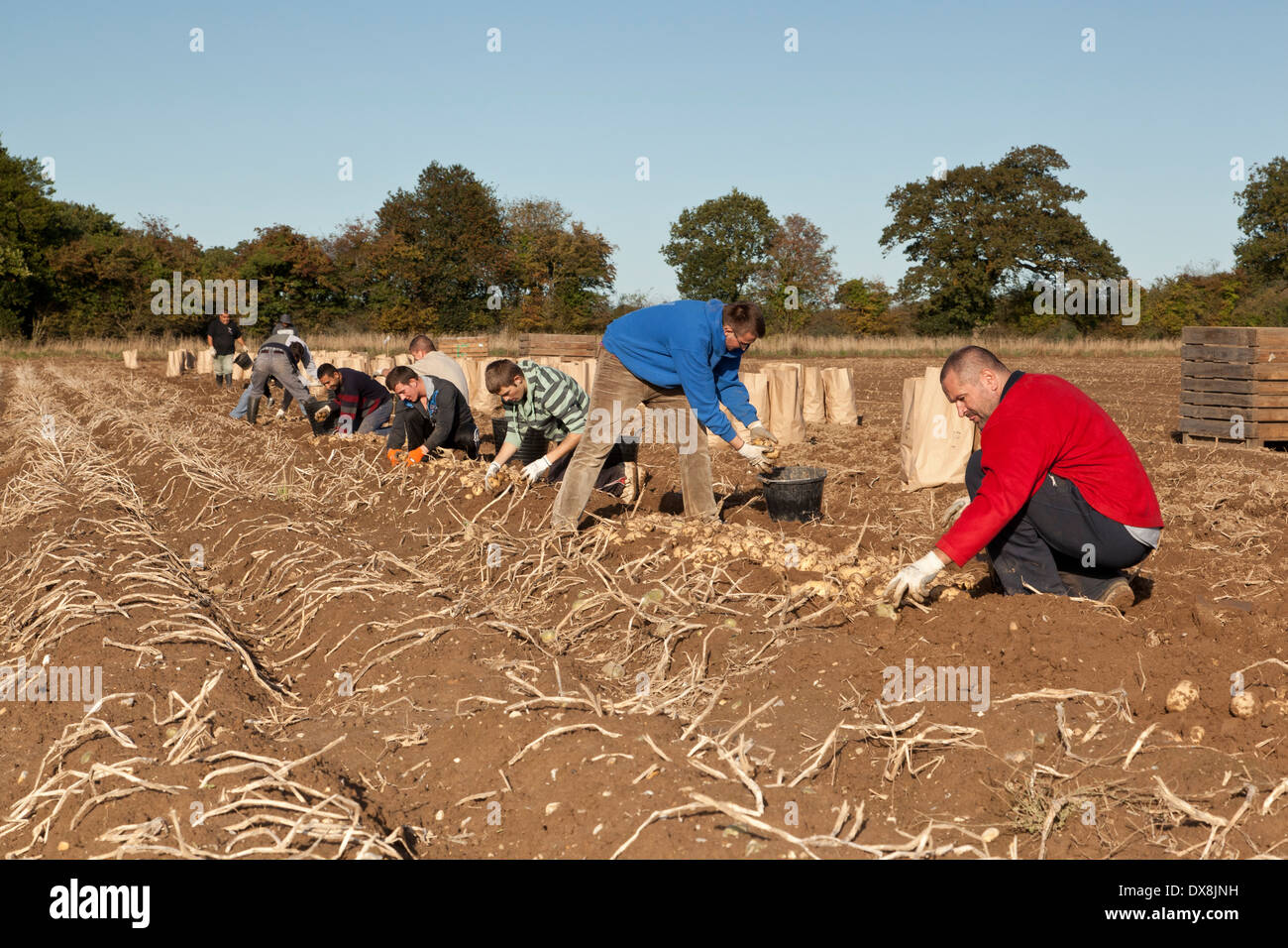 Potatoes being harvested by foreign seasonal workers - Stock Image