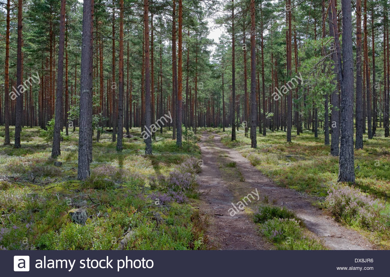 Pine tree forest in Finland Stock Photo