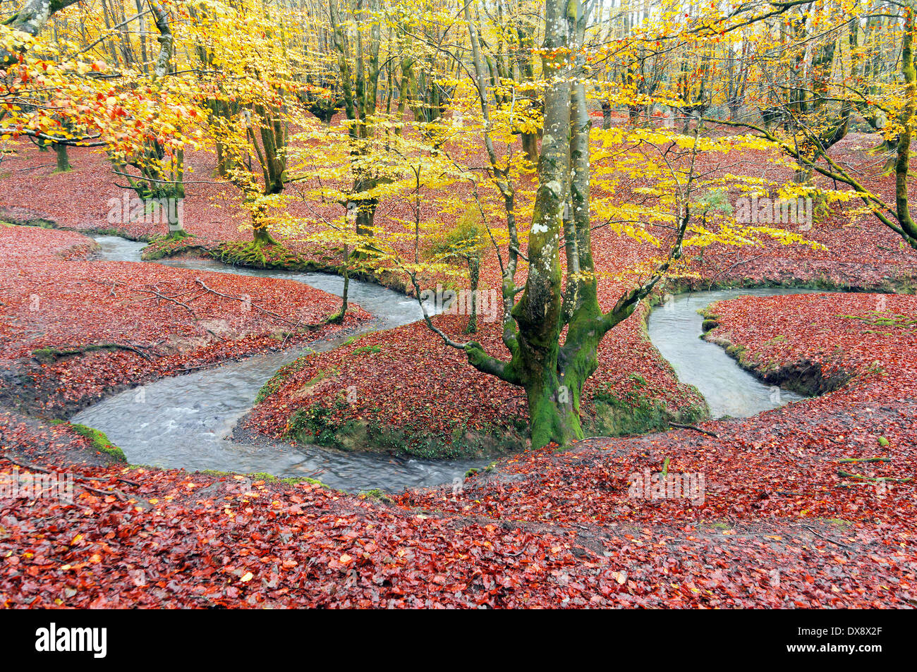 river meander in autumnal forest - Stock Image