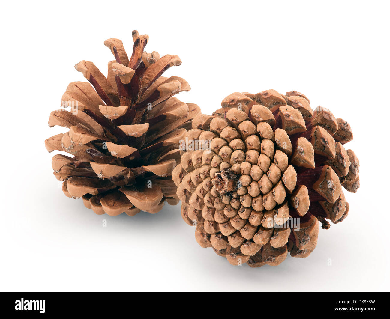 pine cones isolated on white background - Stock Image