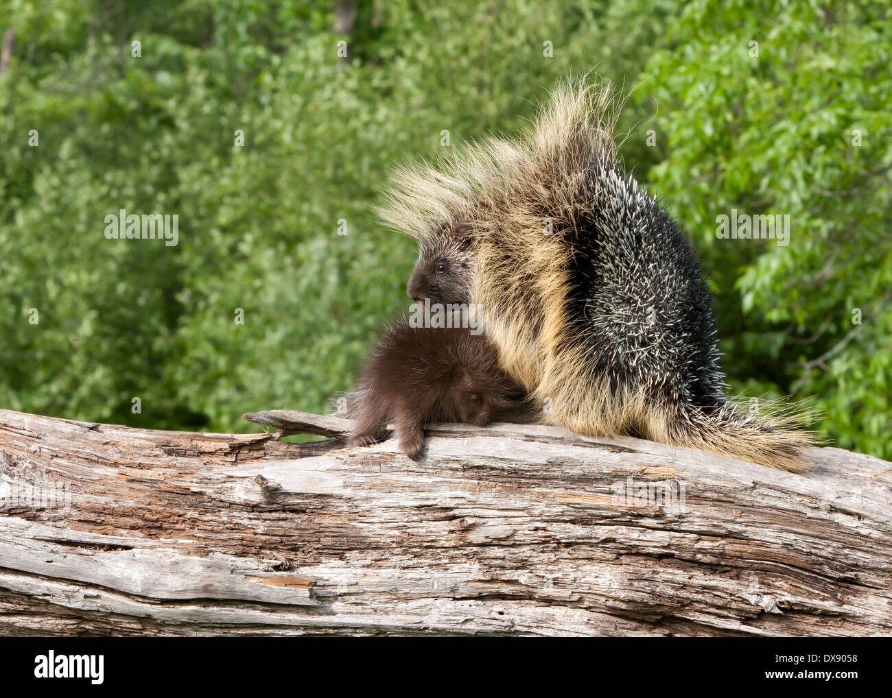 Porcupine Mom and Baby on a fallen tree trunk Stock Photo