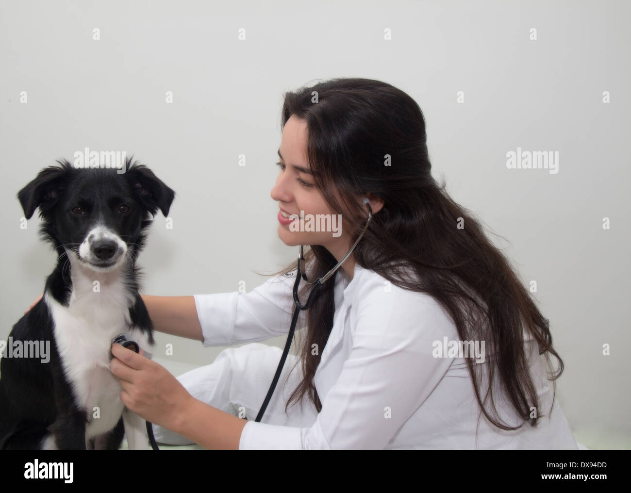 Veterinarian doctor and a border collie - Stock Image