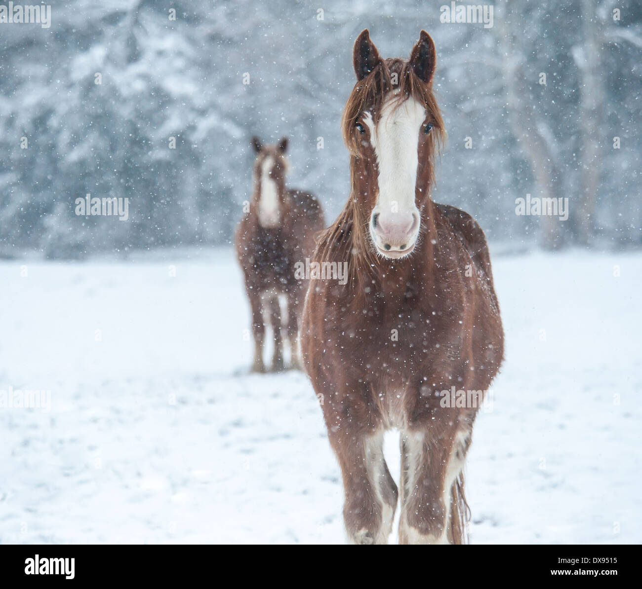 Draft Horse in snow storm - Stock Image