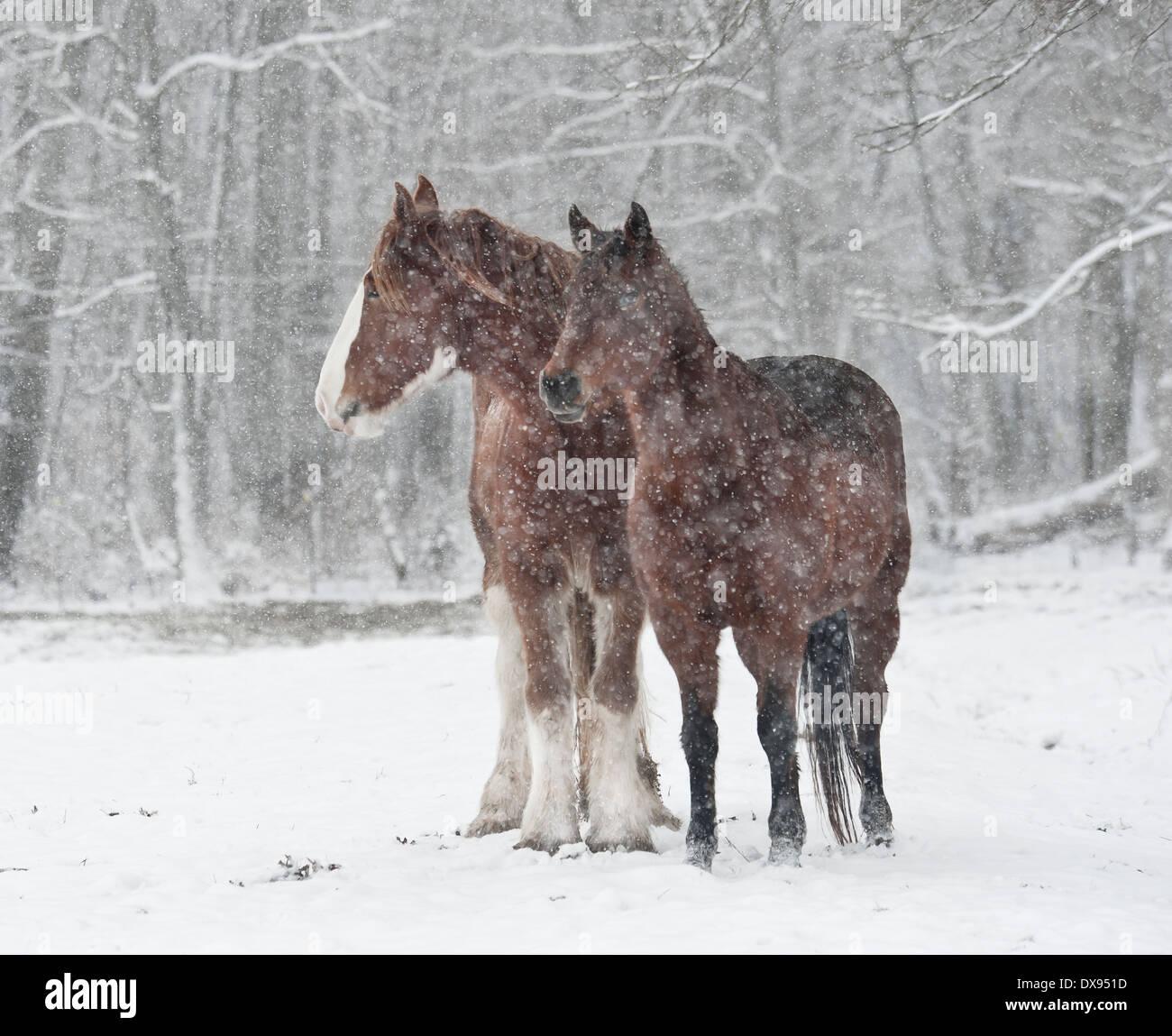 Draft and Morgan horses in snowstorm - Stock Image