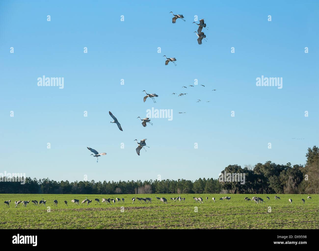 Sandhill Cranes alight in field with more feeding cranes - Stock Image