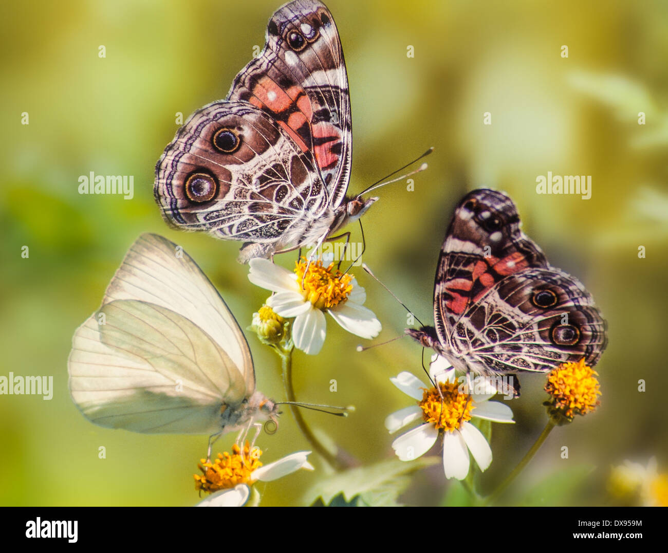 White Sulfur and Red Admiral butterflies on field daisy - Stock Image