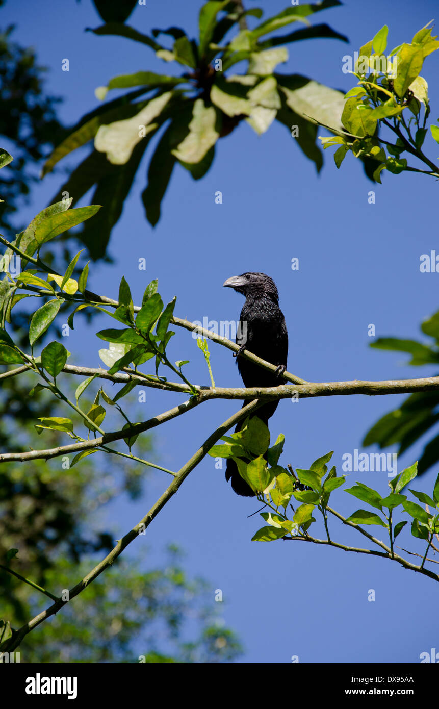 Guatemala, Quirigua. Groove-billed Ani (WILD: Crotophaga sulcirostris) perched in tree branch. - Stock Image