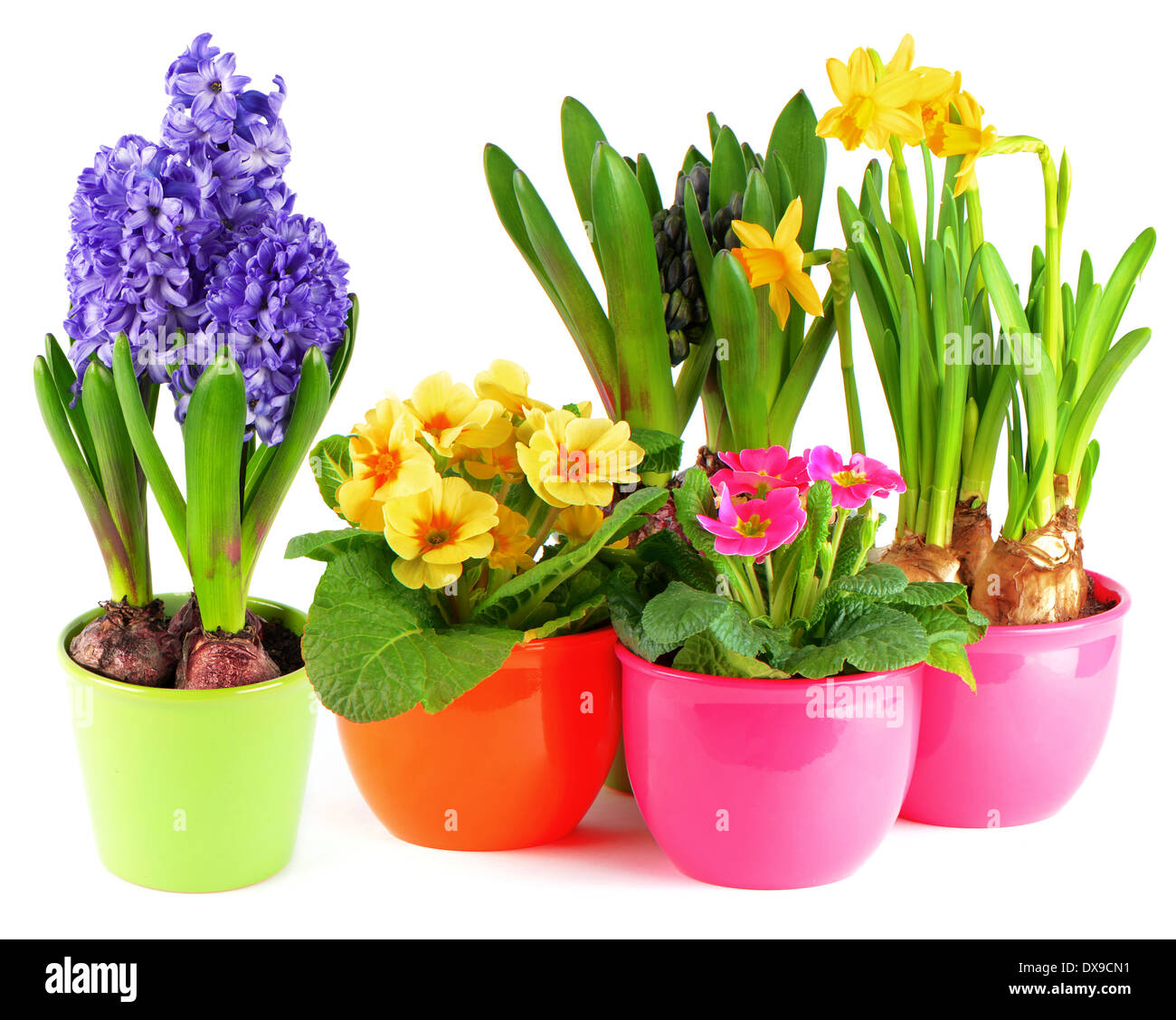 Colorful Spring Flowers In Pots On White Background Blue Hyacinth