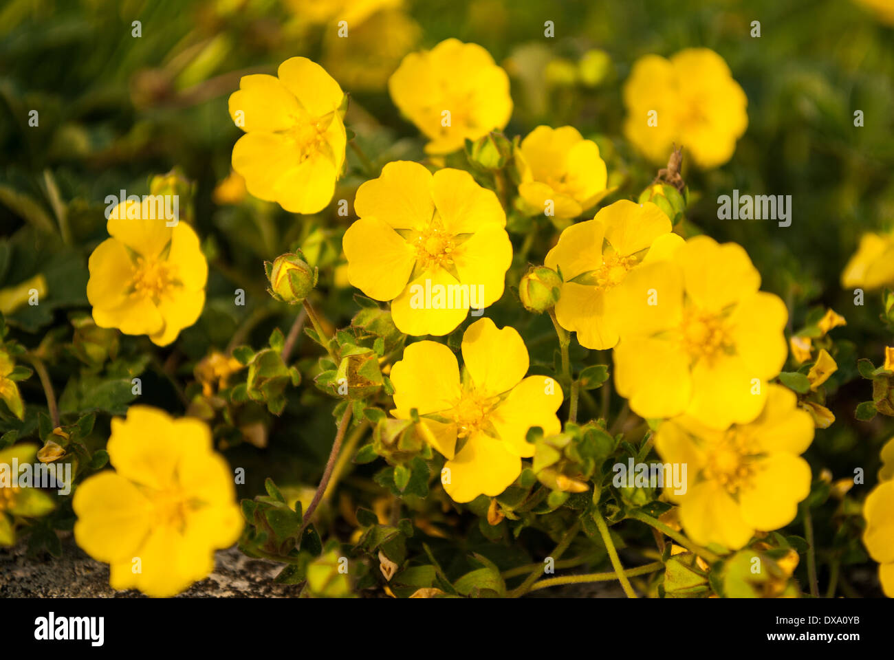Flowerbed Of Little Yellow Flowers Stock Photo 67832447 Alamy