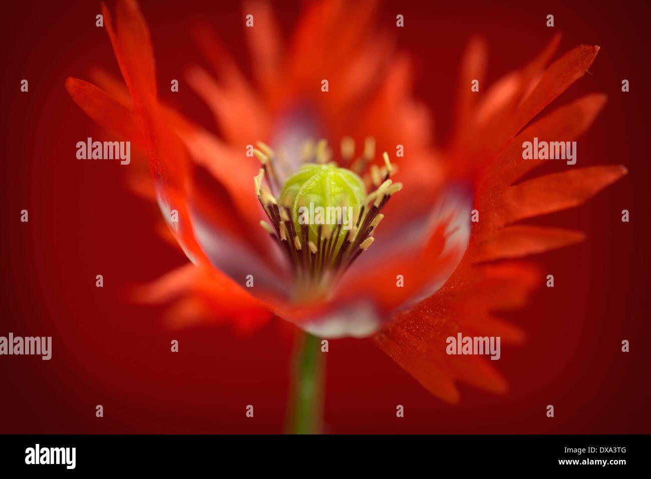 Opium poppy papaver somniferum danish flag red and white opium poppy papaver somniferum danish flag red and white coloured flower showing fringed petals and stamens mightylinksfo