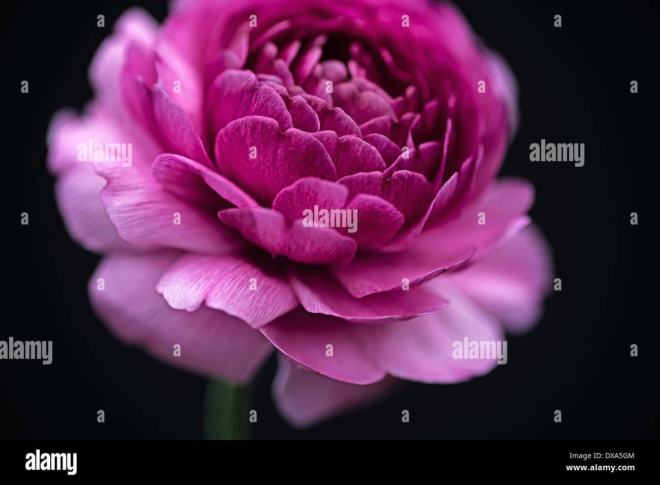 Ranucuclus persian buttercup a ranunculus asiaticus dark pink ranucuclus persian buttercup a ranunculus asiaticus dark pink flower against a solid black background mightylinksfo