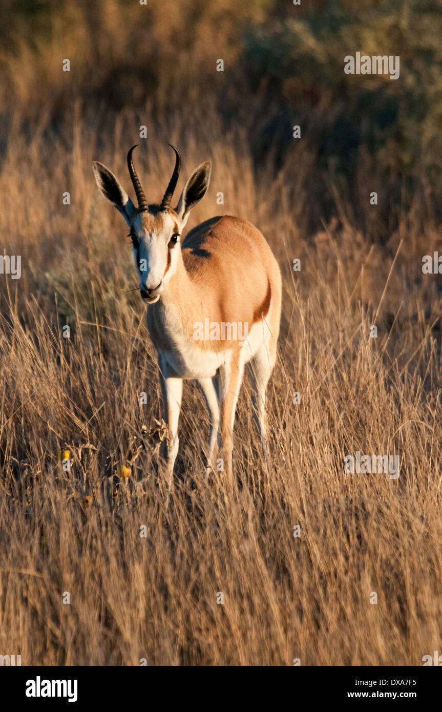 Front view of a single Springbok, Antidorcas marsupialis, in Etosha National Park, Namibia, Southern Africa - Stock Image