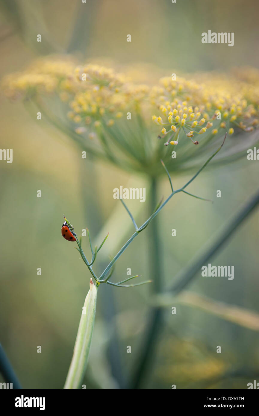 Bronze fennel, Foeniculum vulgare 'Purpureum', mustard yellow flower in soft focus and a red ladybird on the fine leaf. - Stock Image