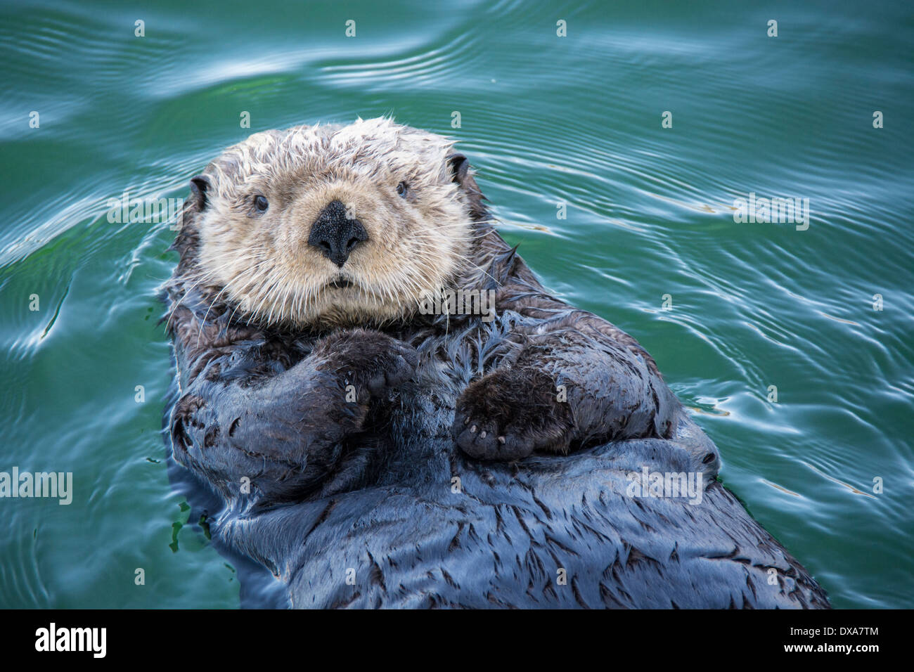 Cute Sea Otter, Enhydra lutris, lying back in the water, Seldovia Harbor, Alaska, USA Stock Photo