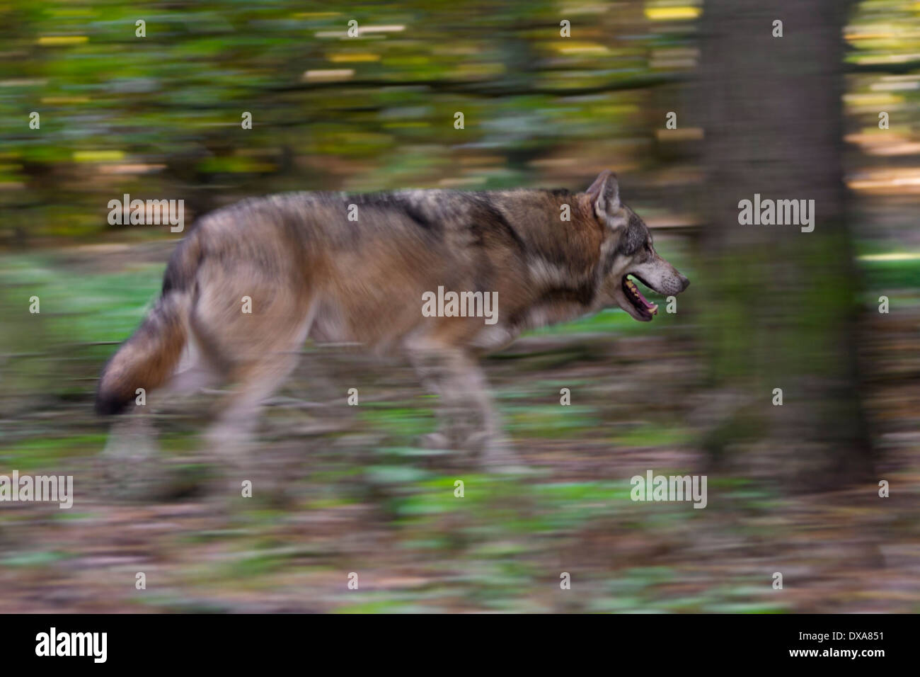 Eurasian wolf (Canis lupus lupus) running in forest showing motion blur - Stock Image