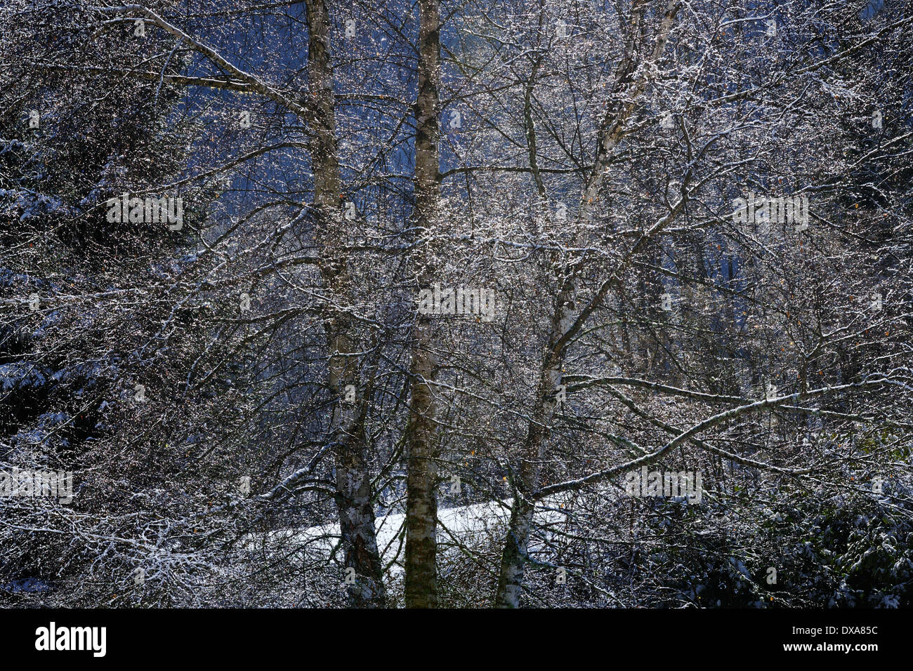 Forest in winter. - Stock Image