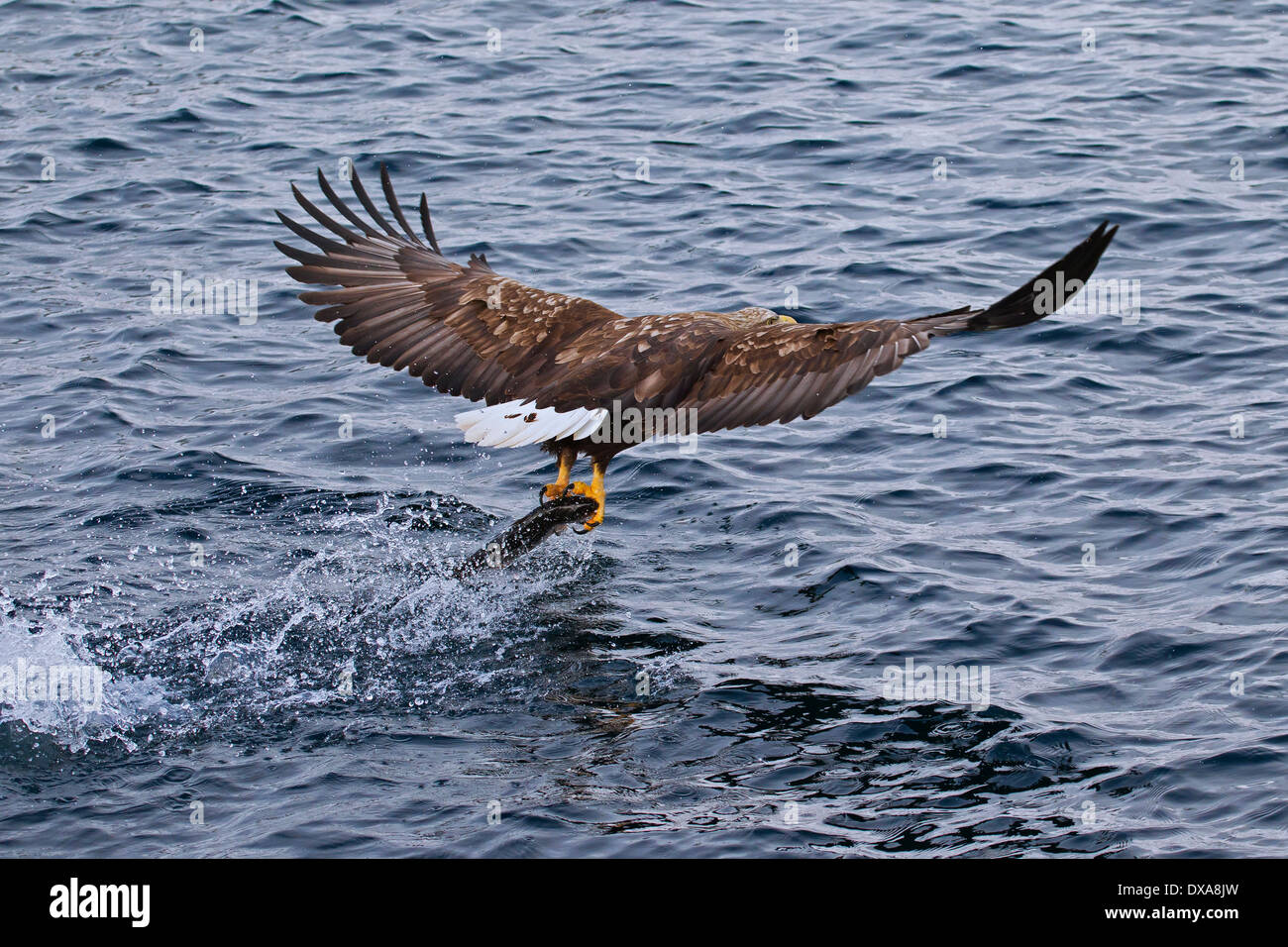 White-tailed Eagle / Sea Eagle / Erne (Haliaeetus albicilla) in flight above the sea catching fish - Stock Image