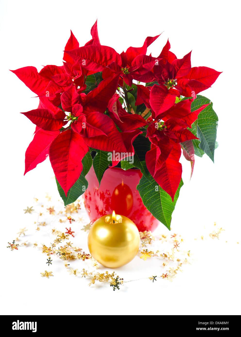 Poinsettia Christmas Stock Photos Poinsettia Christmas Stock
