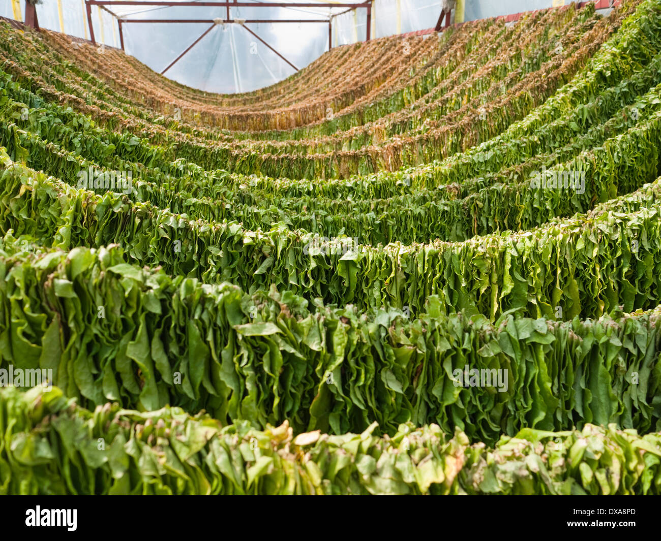 Tobacco leaves drying on a rack in the town of Prilep - centre of the main tobacco growing region in Macedonia - Stock Image