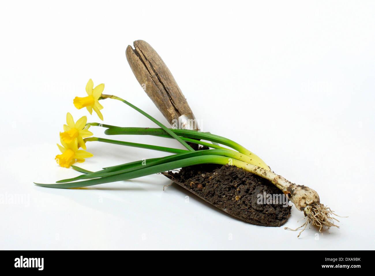 Daffodil and shovel - Stock Image