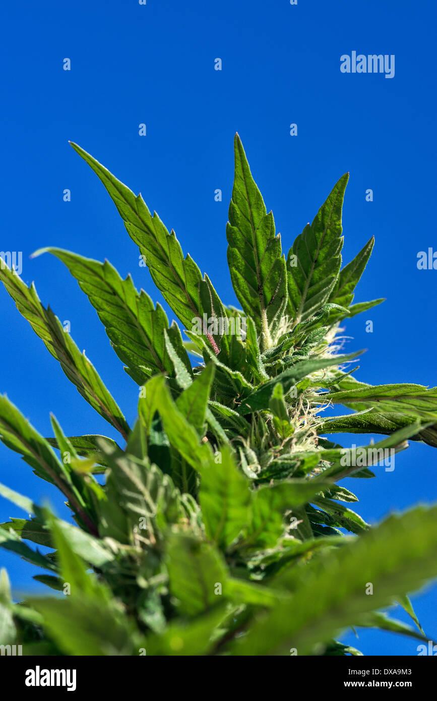 Marijuana plant detail, Jamaica - Stock Image