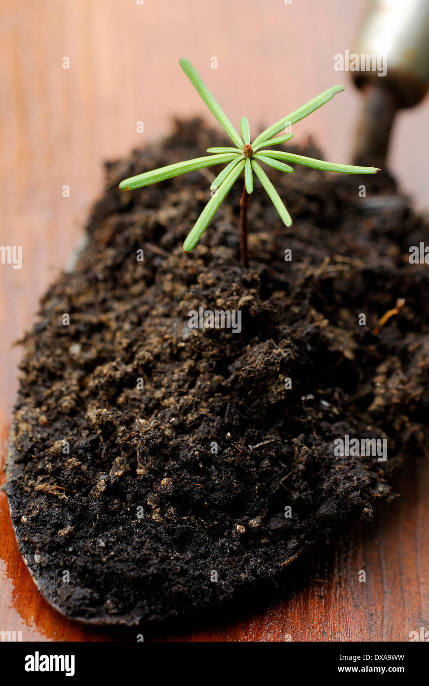 Spruce seedling - Stock Image