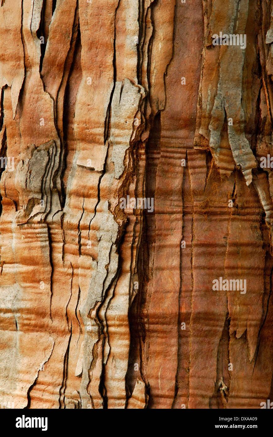 Giant Sequoia - Stock Image