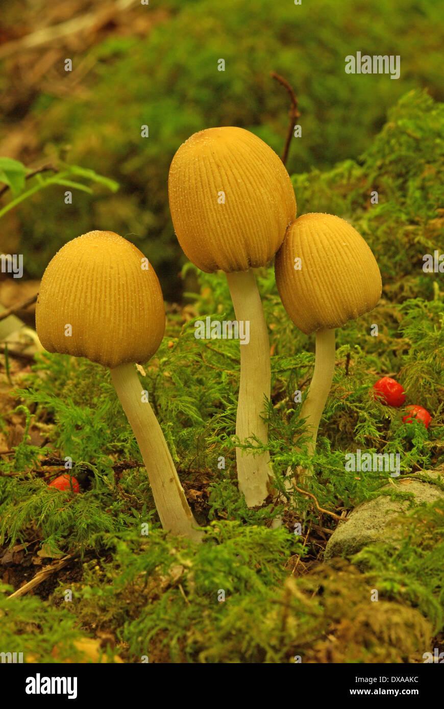 The glistening inkcap  -  Coprinus micaceus - Stock Image