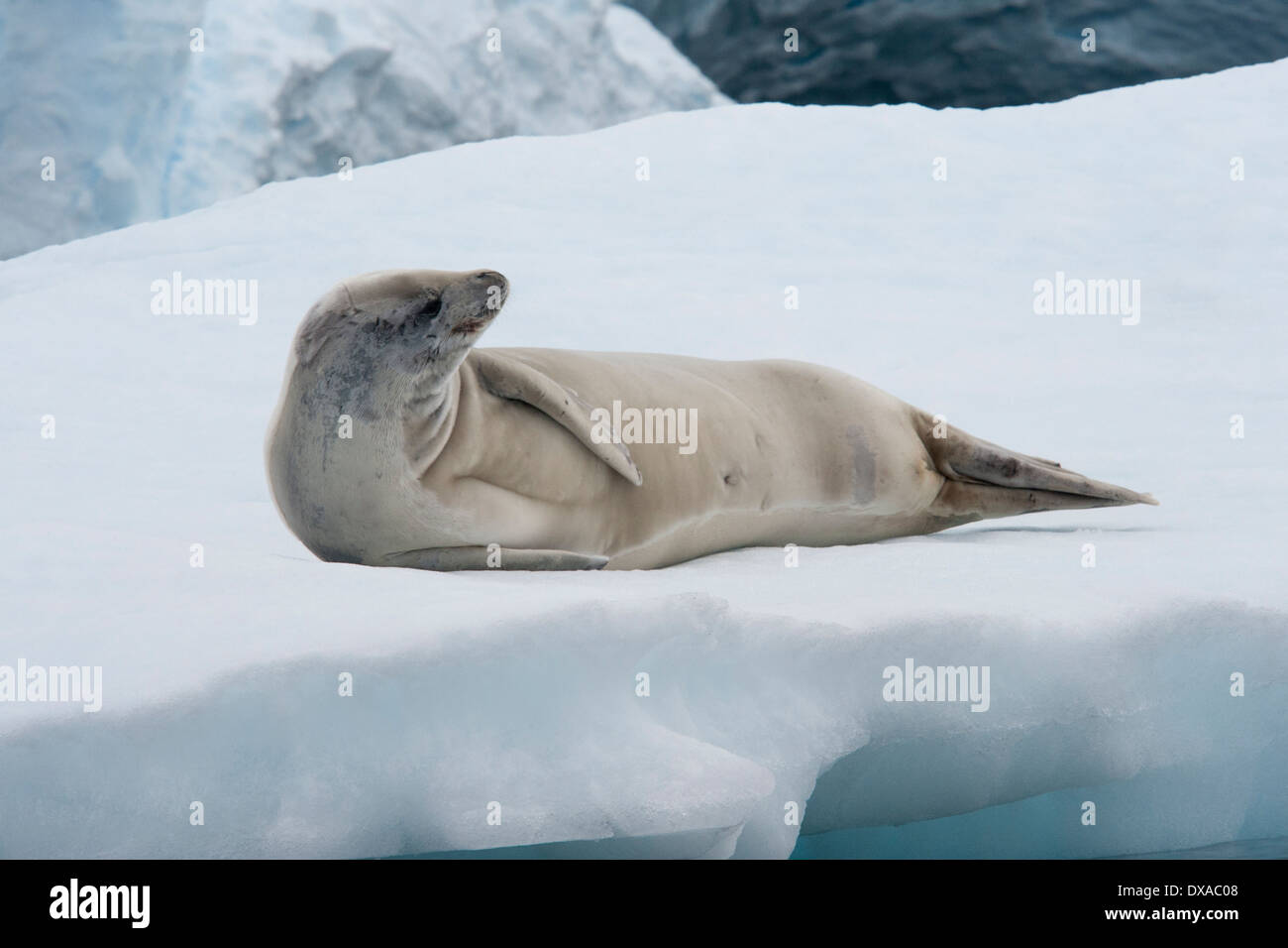 Crabeater seal, Lobodon carcinophagus, resting on an iceberg with glacier in background. Antarctic Peninsula. - Stock Image