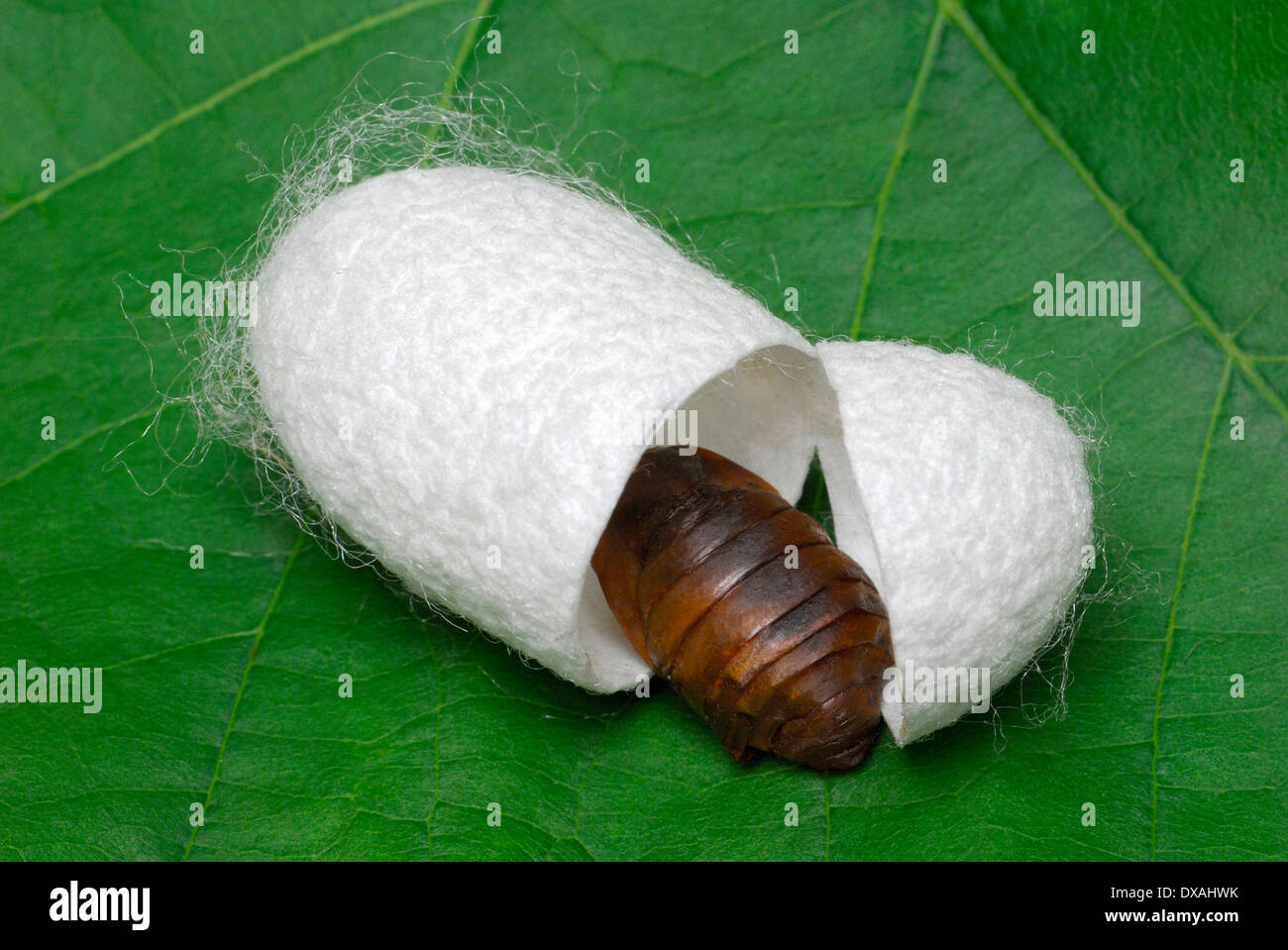 mulberry silkworm moth stock photo 67845727 alamy butterflies clipart free butterflies clipart free