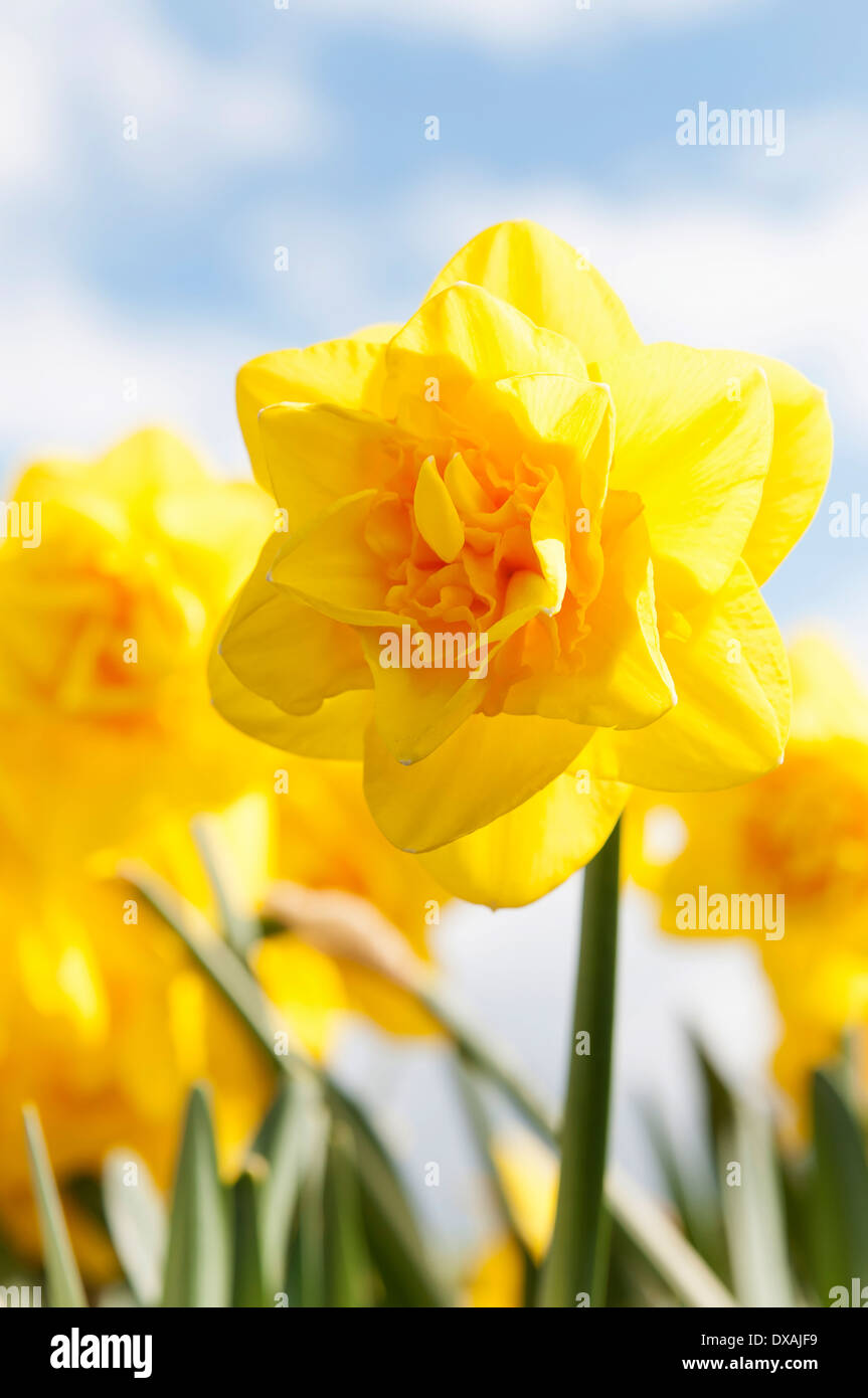 Daffodil 'Jack the Lad', Narcissus 'Jack the Lad', yellow flowers growing outdoors against a blue sky. - Stock Image